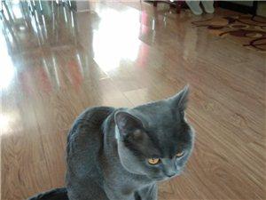 出售英短种公猫