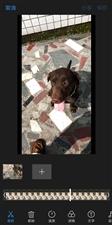 【寻狗】在光明坝跑丢一只中型拉布拉多犬黑色偏黄,右后腿有两个小包。