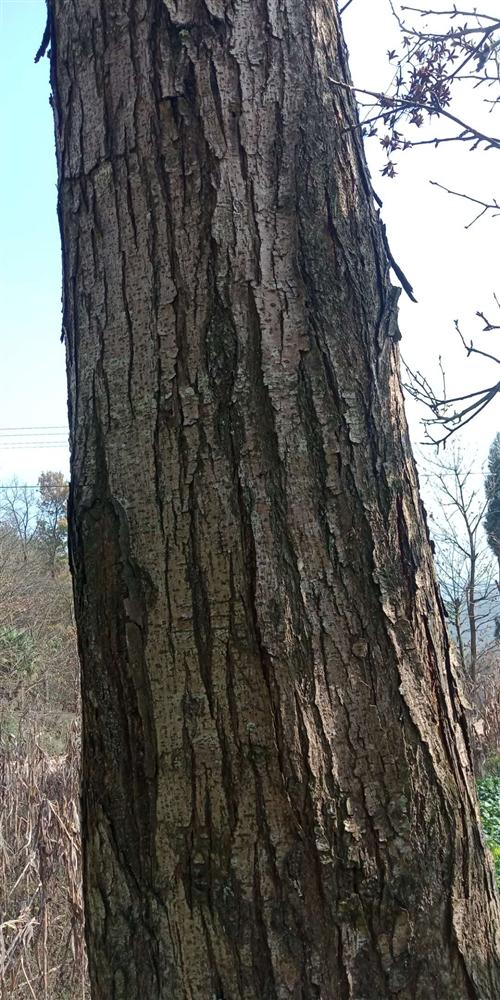 出售红椿菜树一棵,具体情况电话祥谈,或者现场面谈,电话15902607808