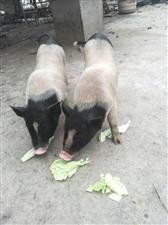 【出售】纯种小香猪【出售】