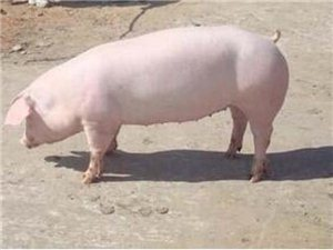出售農村豬肉