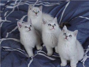英国短毛猫英短小猫
