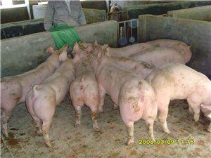 种猪上门配种