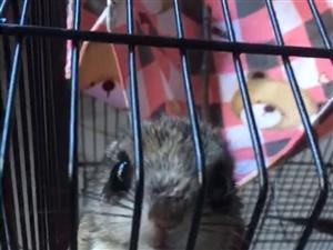 70天左右小飛鼠一只  剛到家幾天  沒太多時間照顧想低價轉讓  只限遵義市 價格可以再商議  ...