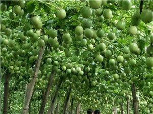 永興鎮  自家農場 種植的有機百香果
