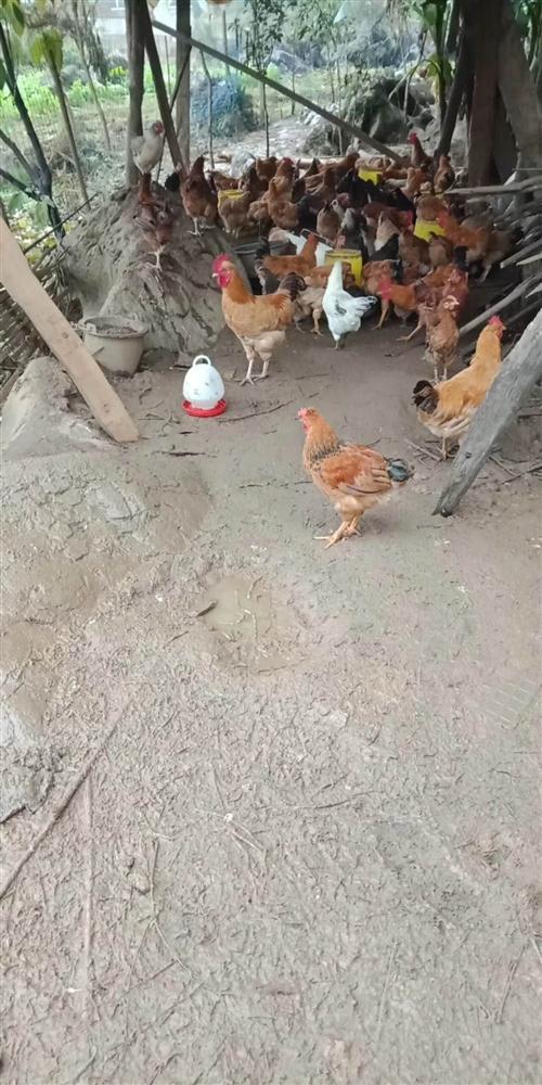 出售散养土鸡     可以长期合作     25/斤