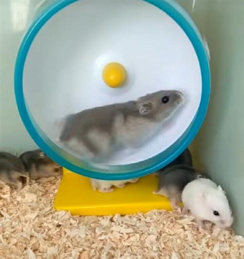 非专业繁殖,家里只有一对仓鼠,鼠粑银狐,鼠麻紫仓,家养二代性格好、身体健康,小鼠10元一只,公母都有...