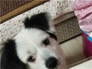 寻狗启事!狗狗被草蜱虫咬过,不能吃!