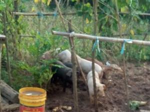农家散养生态猪出售