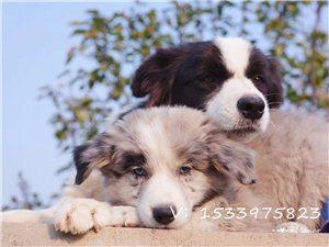 边境牧羊犬伴侣犬自家繁殖血统边牧