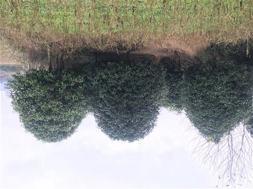 本地貴花樹出售,直徑10至16公公。價格面議