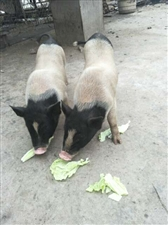 纯种小香猪