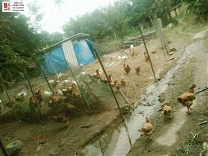 村里中间开养猪厂