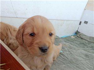 便宜出售純種金毛幼犬36天,500一只