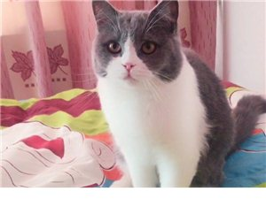 英短美短,藍貓藍白,各種高品質品種貓