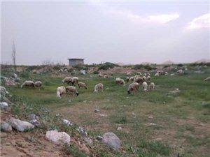 卖农村散养羊肉