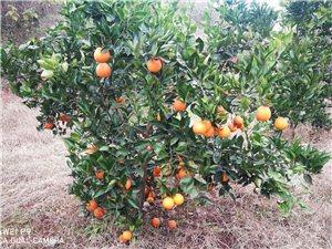 宜宾南岸螺冠山橘子园