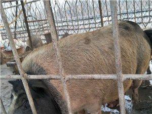 【出售】母香猪一只