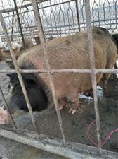【出售】母香猪一只因本人没地方喂了,目前才下过崽一窝,一窝下崽十几只小猪仔,重量:一百三四十斤,什
