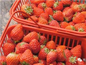 魏家地�r夫菜�@的草莓熟了