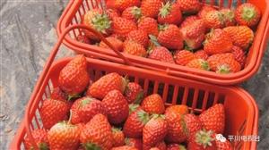 魏家地农夫菜园的草莓熟了