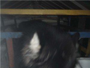 8个月的阿拉斯加犬