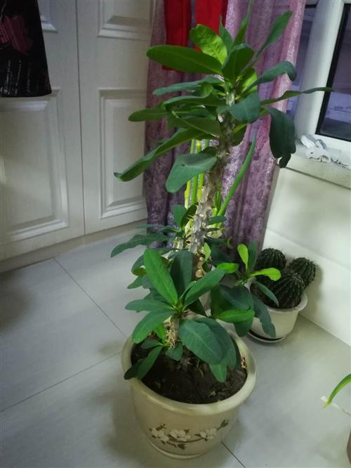 本人有一盆刺梅欲出售,植高60厘米,带花盆60元,自己上门取。有意者联系:13796234511