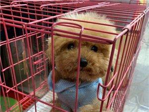 領養小型犬泰迪