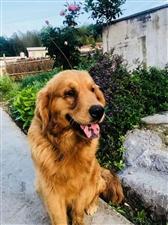 寻狗启示:我家的狗子金毛两岁,13号中午在家附近丢了。