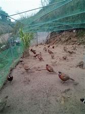 卧龙七彩野山鸡开售了