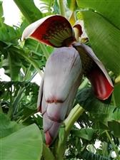 好看香蕉花
