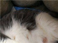 预定幼猫蓝白,价格非常低