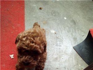 賣迷你泰迪犬