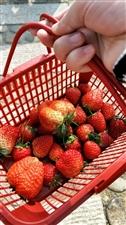 山桥天价草莓