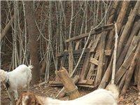 老人喂了一只山羊,有120多斤重,過年了自己不舍得殺,想把它賣了,也不知道多少錢一斤,誰要的話說一聲...