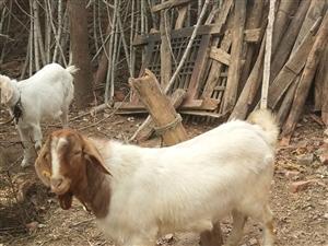 老人喂了一只山羊,有120多斤重,过年了自己不舍得杀,想把它卖了,也不知道多少钱一斤,谁要的话说一声...