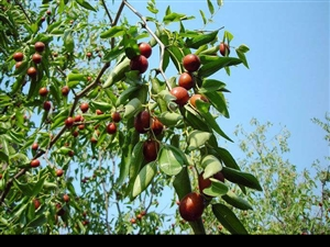 OPE官网盛果期枣树,桃树,6-8公分,1-2千棵,有需要的朋友欢迎前来预订。