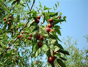 出售盛果期枣树,桃树,6-8公分,1-2千棵,有需要的朋友欢迎前来预订。