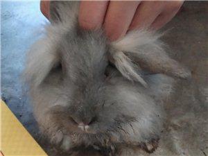 出售肉兔宠物兔种兔小兔子