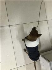 丰泽御景川渝火锅捡到走失吉娃娃狗一只
