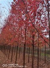 美国红枫出售