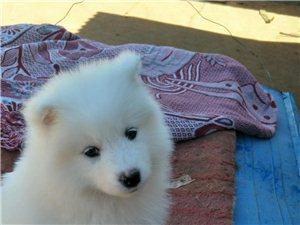 家养宠物狗萨摩耶幼崽出售