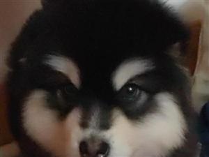 自养阿拉斯加母犬一只,三个月大 三针已打 因家中老人生病 无暇照顾狗狗 寻有爱心人士收养