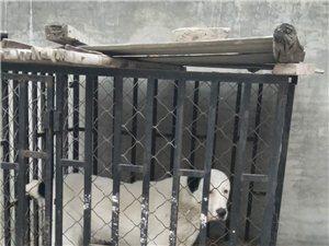 中亞牧羊犬