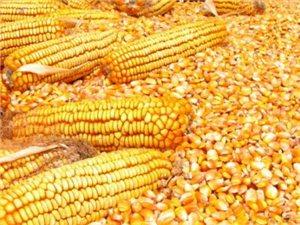 大量優質玉米出售(已脫粒)