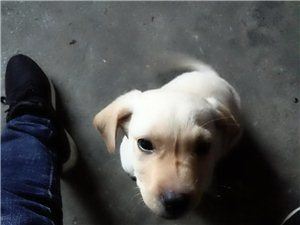 拉布拉多幼犬出售