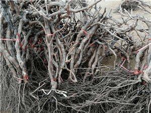 批发各种占地苗木