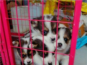 纯种柯基犬,800-1000一只,包健康