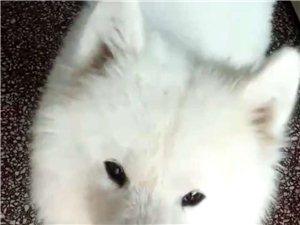 出售萨摩耶犬一岁公