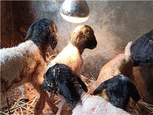 出售杜泊羊